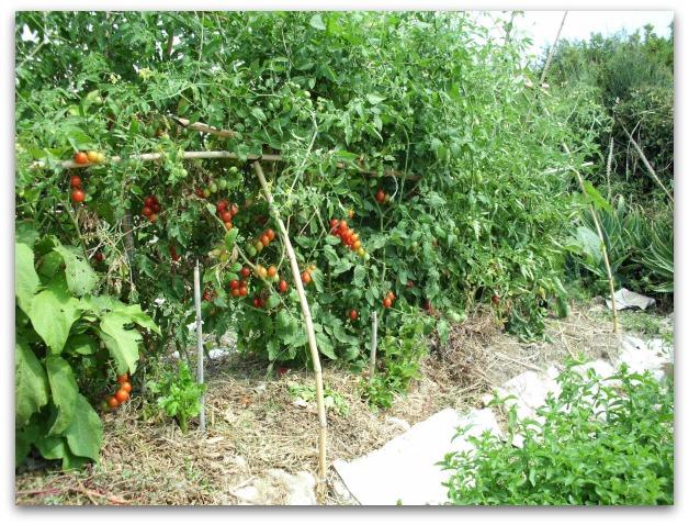 Orto domestico piante amiche 11 idee per il vostro orto for Aglio pianta